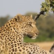 African_Leopard_3