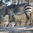 1024px-Hartmanns_Mountain_Zebra_by_Trisha